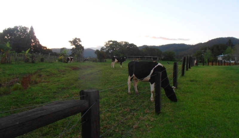 cows