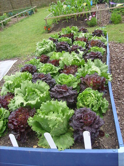vegetable garden growing lettuce